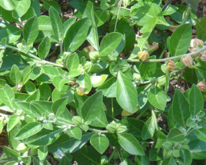 Ashwagandha: An Indian Herb for Stress and Anxiety